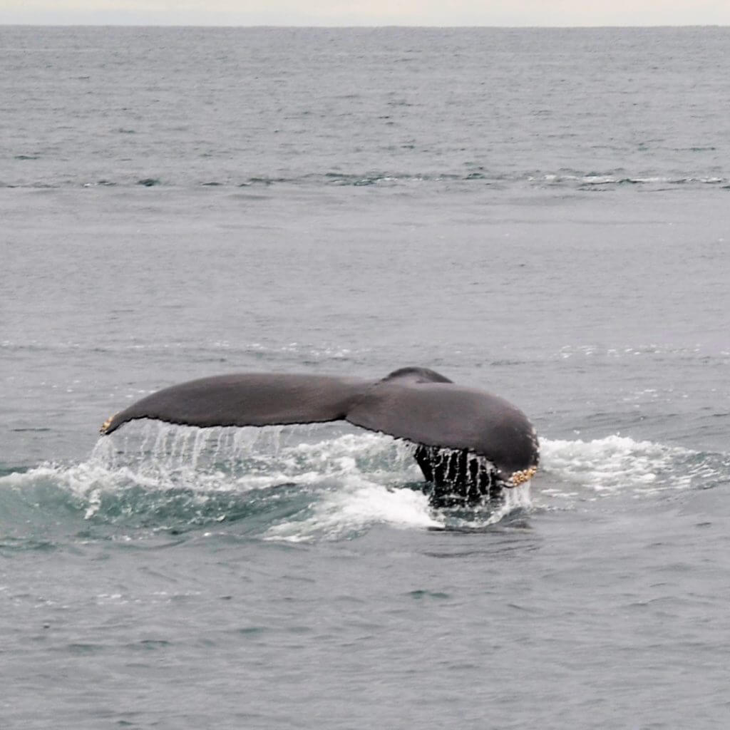Whale watching in Husavik Island