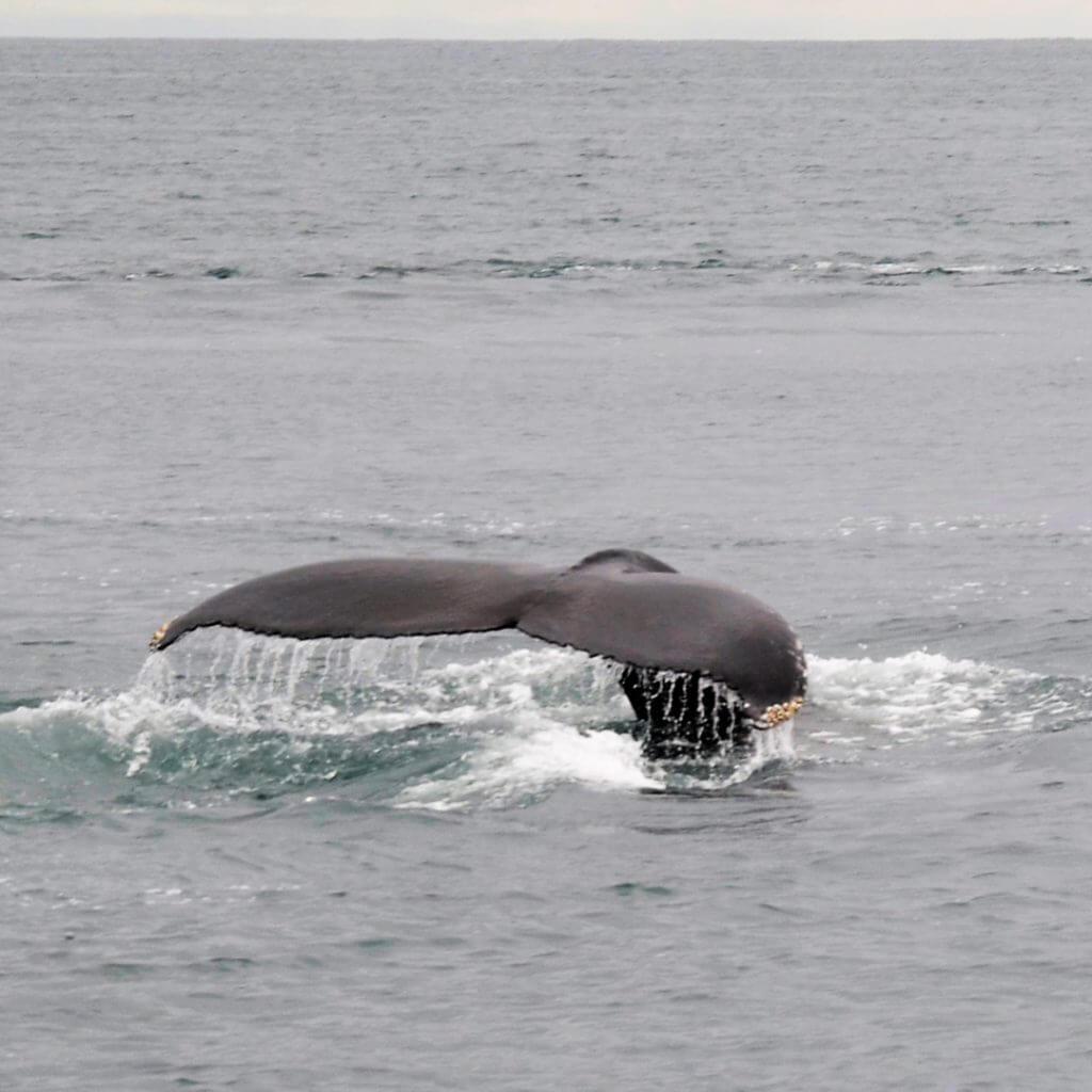 Whale watching in Husavik Island
