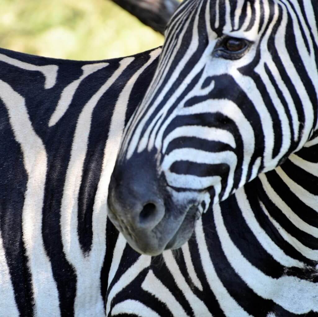 Zebra Nationalpark Südafrika