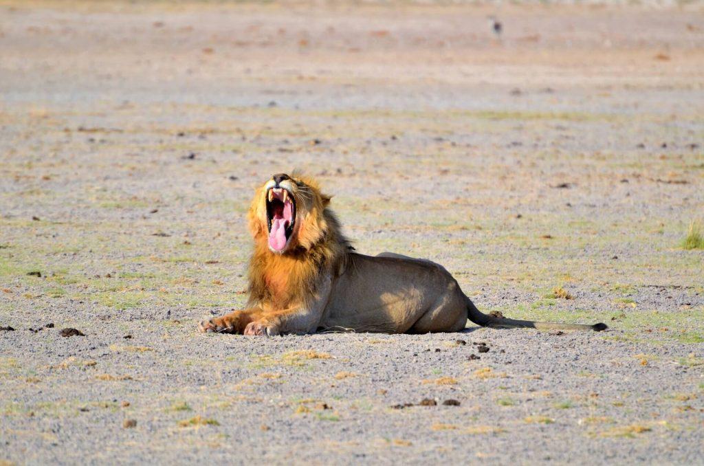 Ein sehr müder Löwe