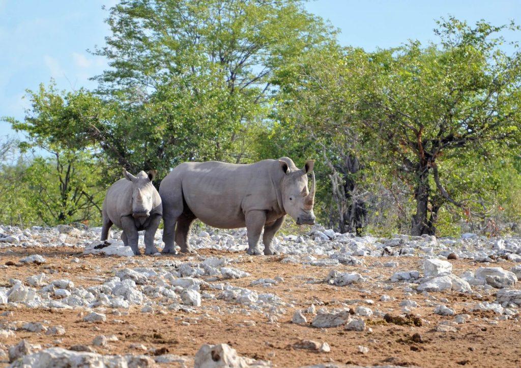 Nashörner am Kalkheuwel Wasserloch