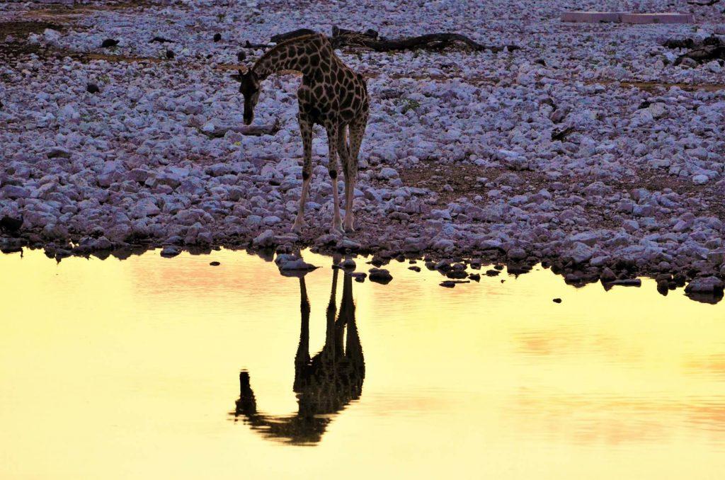 Giraffe am Wasserloch