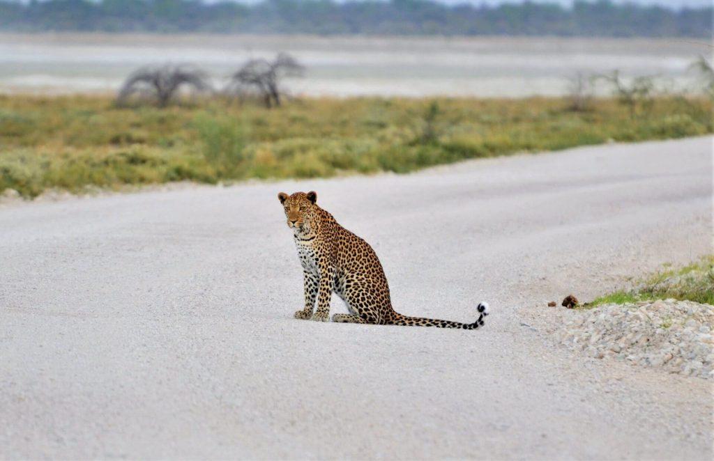 Leopard im Etoshapark