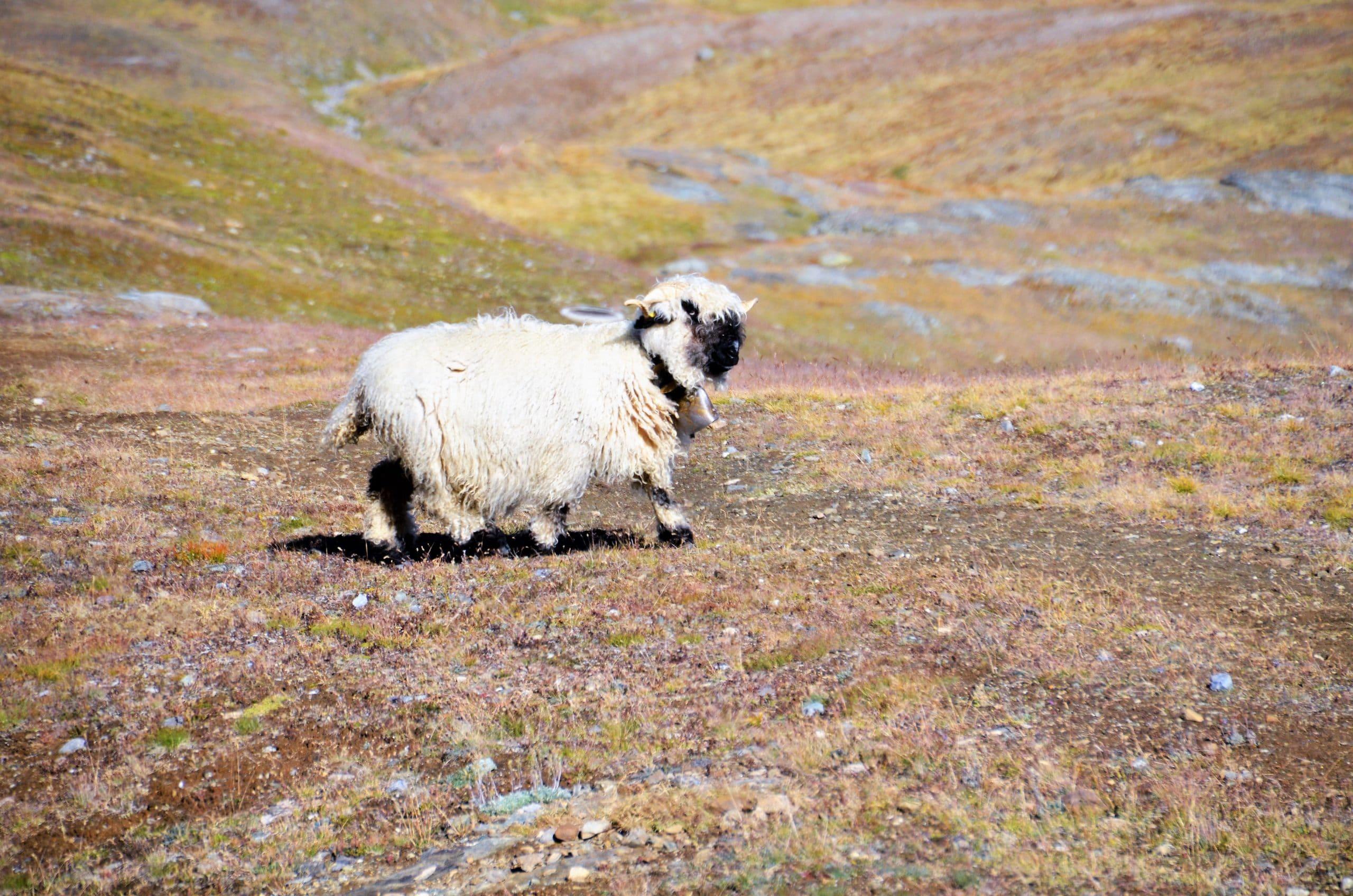 Wanderung Zermatt Schwarznasenschafe