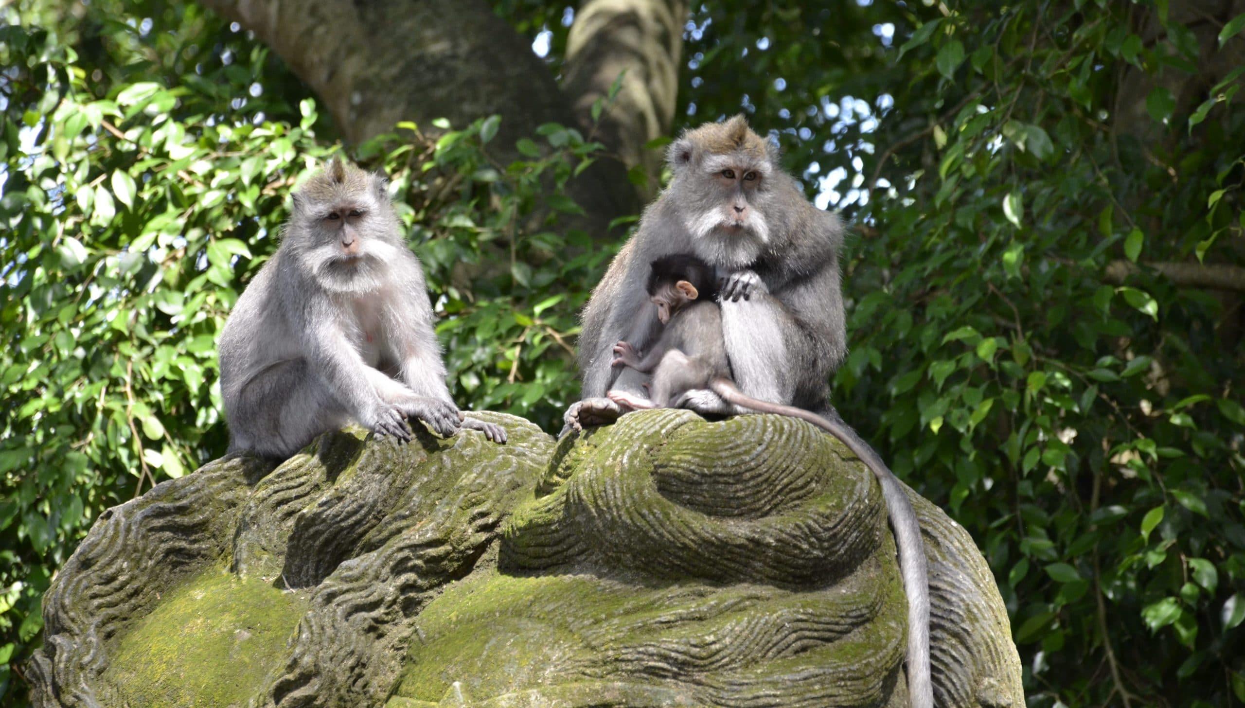 Affenwald Ubud Sehenswürdigkeiten Bali