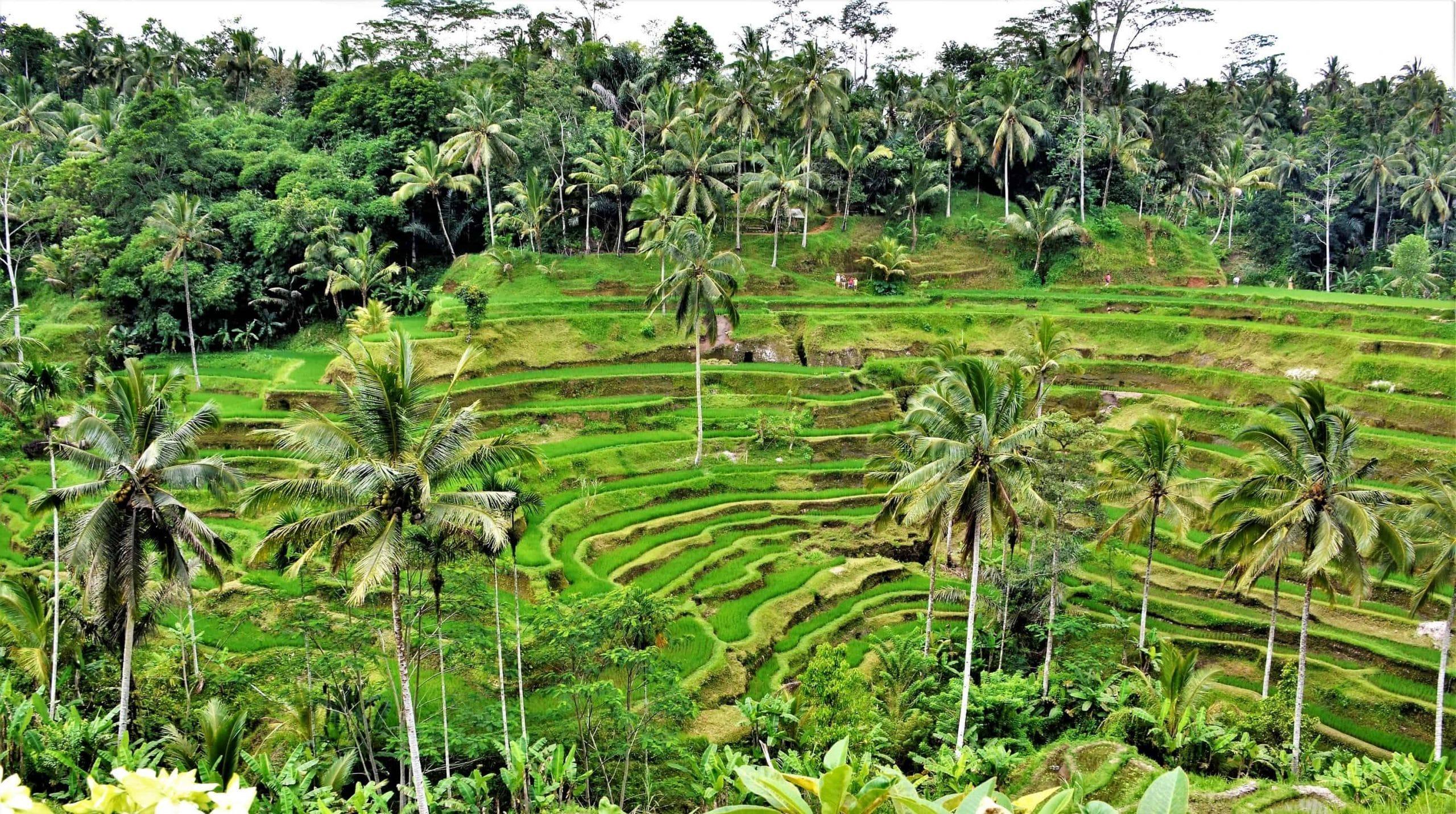 Tegalalang Reisterrassen Sehenswürdigkeiten Bali