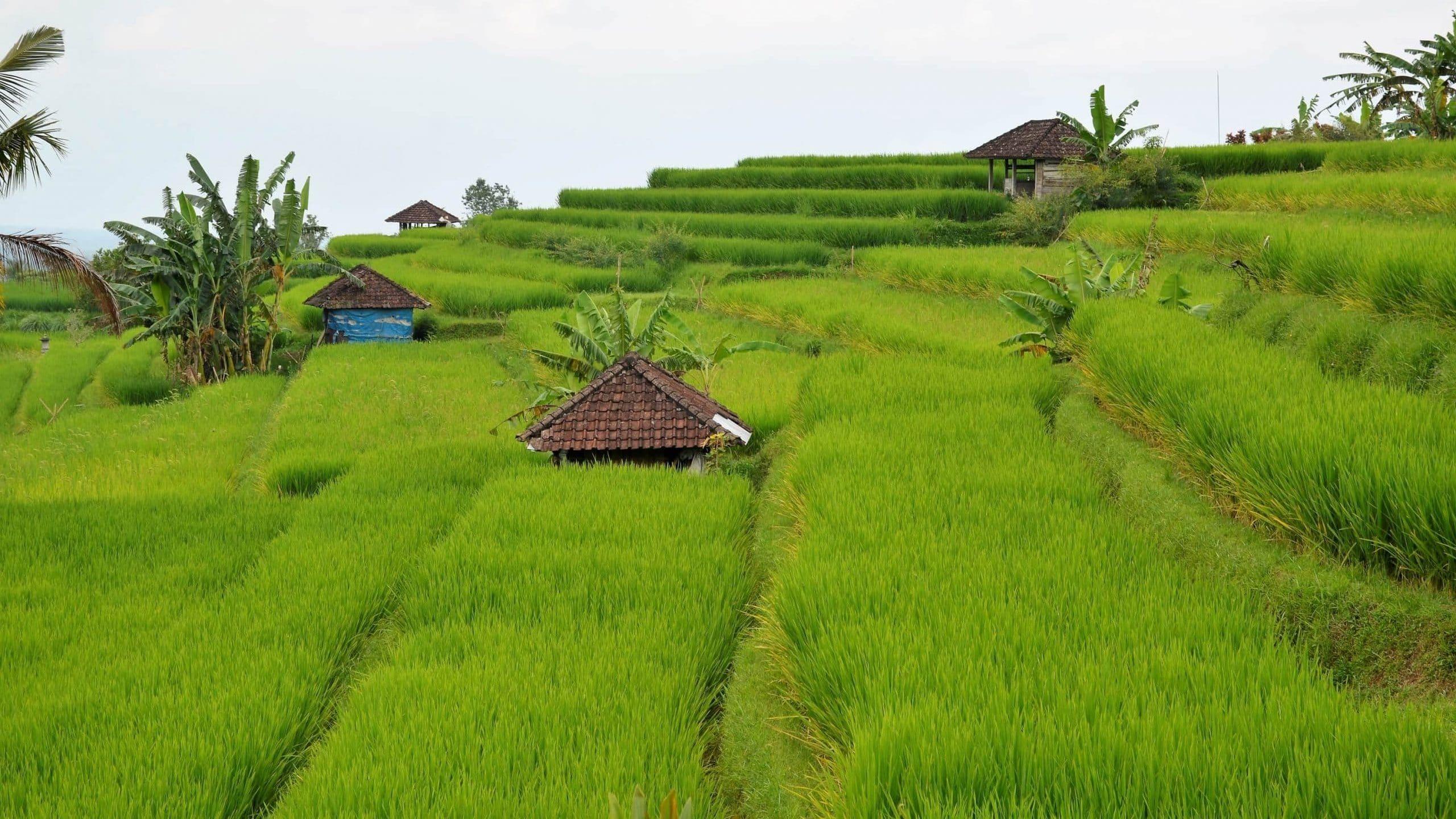 Sehenswürdigkeiten Reisterrassen Bali